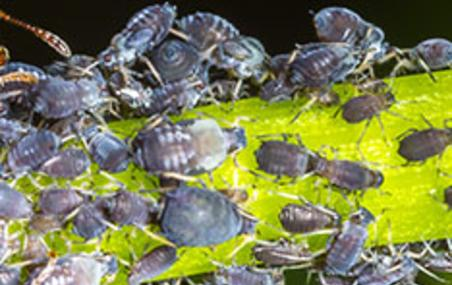 Corky's Aphid Identification