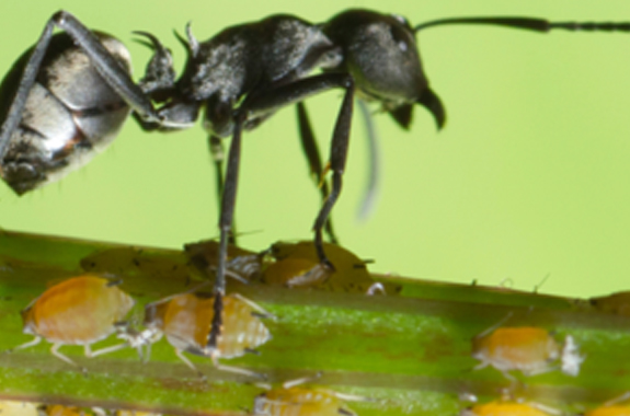 More than 12,000 species of ants are known with about 700 found in the U.S.