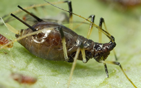 Brown Citrus Aphid