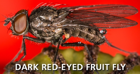 Dark Red-Eyed Fruit Fly