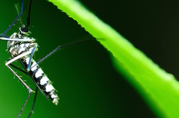 What diseases do mosquitos carry?