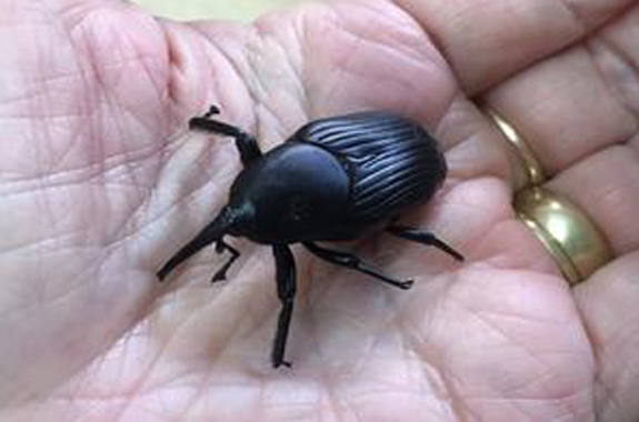 Trees infested with the South American Palm Weevil will typically die and must be disposed of properly and safely.