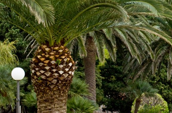 Protect the Canary Island Date Palm Tree! Don't delay.