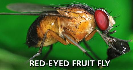 Red-Eyed Fruit Fly