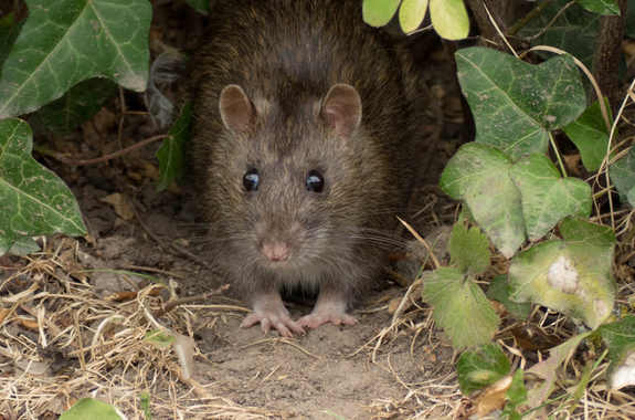Corky's Rodent Control Services