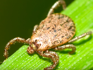 Pacific Coast Tick