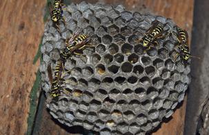 Wasp Treatments