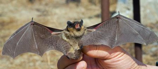 Corky's Bat Identification