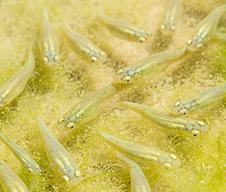 Stock Mosquito Fish