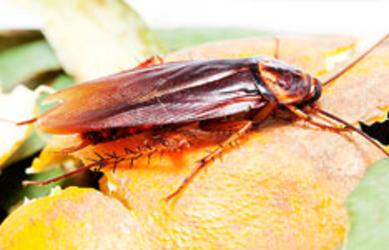 Cork's Cockroach Pest Control Services