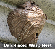 Bald Face Wasp Nest