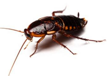 Brown-Banded Coackroach