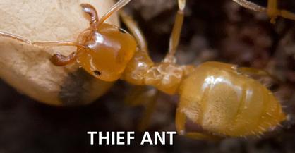 Thief Ant