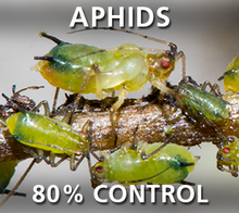 Corky's Aphids Pest Control