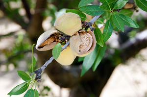Almonds (Nuts)