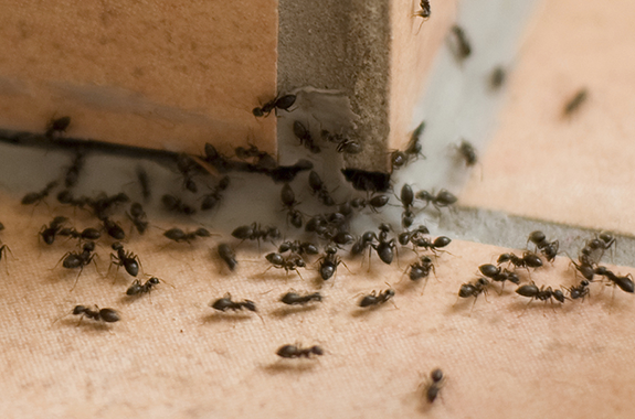 how to get rid of tramp ants agricultural