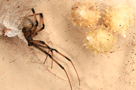 Spiders corky 39 s pest control services termite services for How to stop spiders entering your house