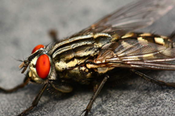 "The common house fly and other ""filth flies"" are nuisance pests, & their control is most important because they carry a significant number of diseases."