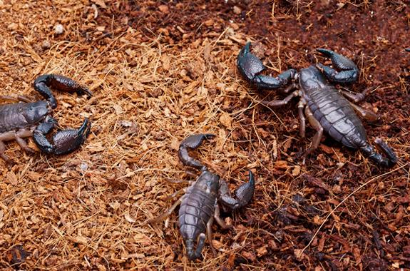 scorpions san diego