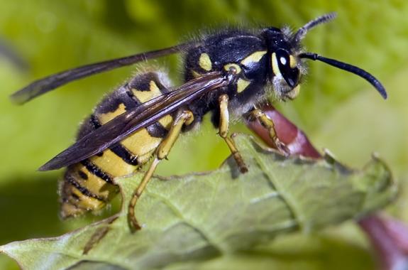 Corky's Wasp Identification