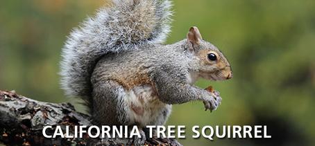 California Tree Squirrel