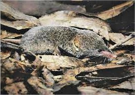 ornate-shrew