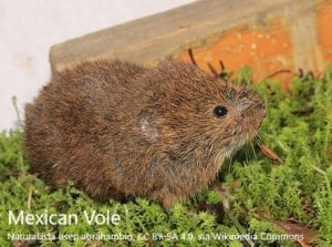 mexican-vole-large-with-attribution